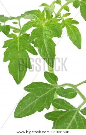 Green tomato leaves isolated on a white background shallow deep of field poster