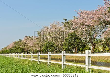 White Fence With Pink Trumpet Trees In Bloom poster
