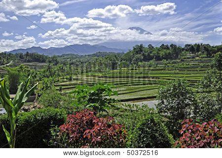Panorama of Rice Fields