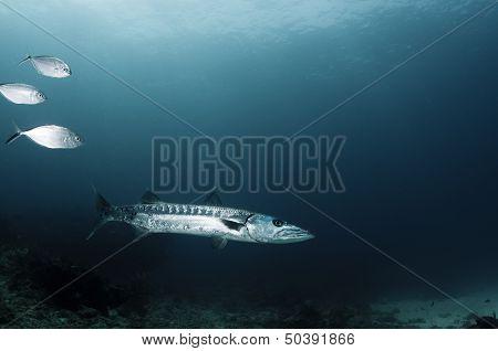 Great Barracuda in Silver