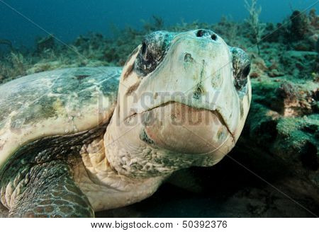sea turtle face with coral in the background