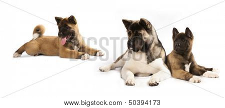 portrait of puppy of breed the American Akita with the adult dog