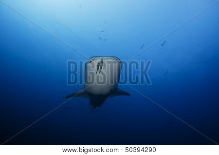 Whale Shark Down Deep