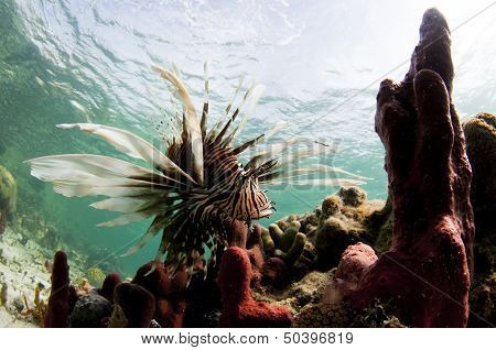 Lionfish in the Coral