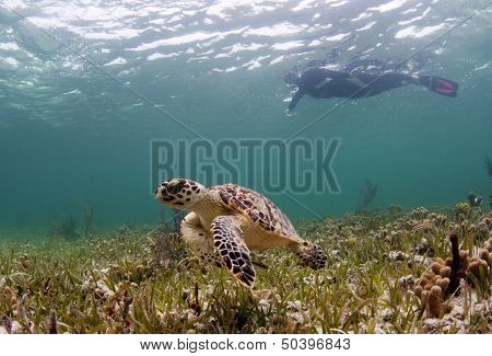 Endangered hawksbill sea turtle swimming with woman