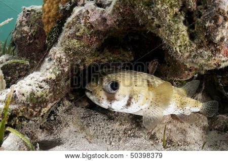 Porcupine Fish Under Ledge