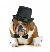funny dog - grumpy looking bulldog dressed up in a tophat and black tie isolated on white background poster
