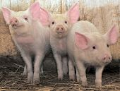 Three young pigs who with watchfulness look poster