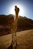 Camel in Sinia desert, Egypt. 2003 poster