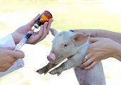 Veterinarian giving injection to piglet on farm poster