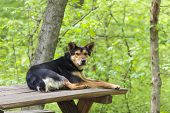 Old stray abandoned dog resting on wooden table in the forest and waiting for tourists to come and feed him. poster