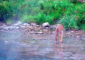 Whitetail Deer Spike Buck drinking from a stream on a misty morning. poster