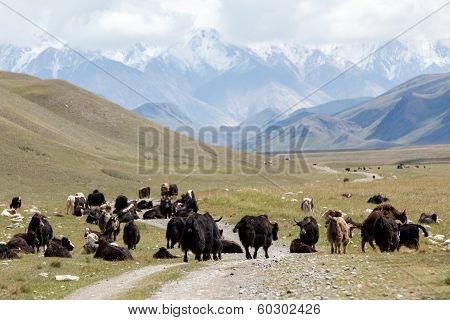 Group of yaks on the mountain road, Kirgizia