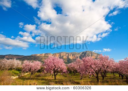 Mongo in Denia Javea in spring with almond tree flowers Alicante Spain poster