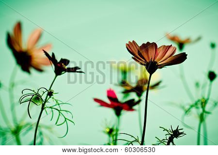 Vintage Cosmos Flower