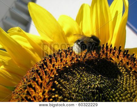 Bumblebee on a sunflower with prefab on background