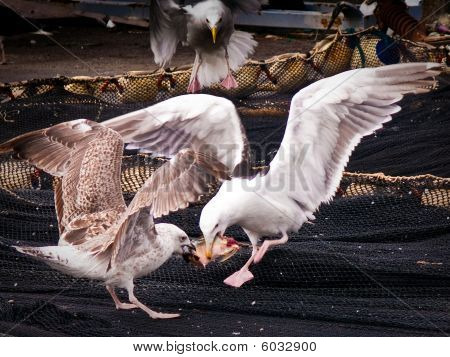 Two Seagulls fighting over one fish