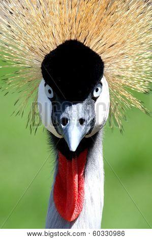 Crowned Crane Bird Look