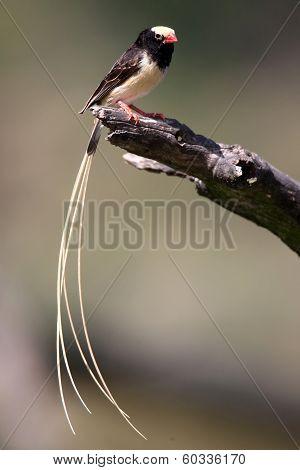 Pintailed Finch Bird