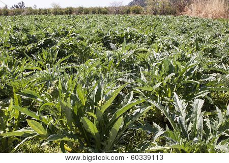 Artichoke Field