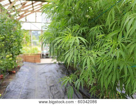 Marijuana ( Cannabis), Hemp Plant Growing Inside Of The Green House