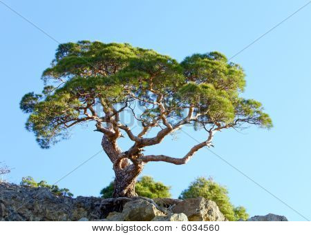 Juniper Tree On Rock On Sky Background