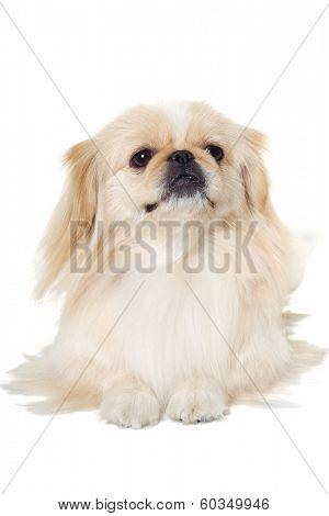 Pekingese dog is resting on a white background