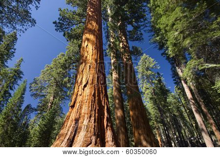 Giant Sequoia tree in the Mariposa Grove, Yosemite National Park, California, USA