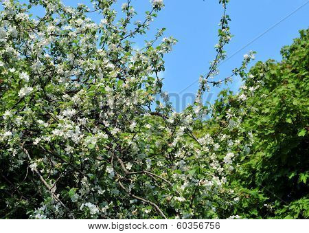 Blooming of apple tree.