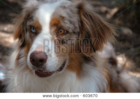 Austrailian Shepherd