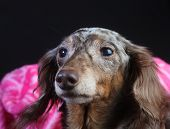 Longhair double dappled rescue dachshund with pink blanket & dark background poster