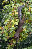 Squirrel eating nuts in a garden Beech tree poster