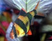 Popular aquarium  fish. A close up. (Barbus tetrazona). poster