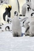 Emperor penguin chick (Aptenodytes forsteri) on the ice in the Weddell Sea Antarctica poster