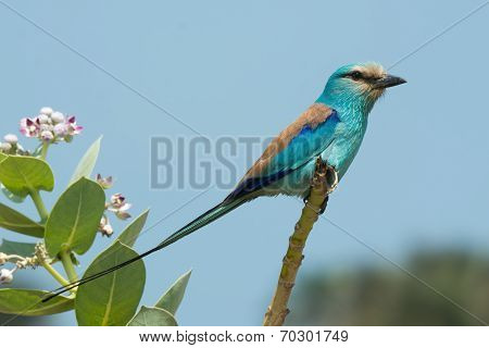An Abyssinian Roller (coracias Abyssiniica) Perched On The Top Of A Branch