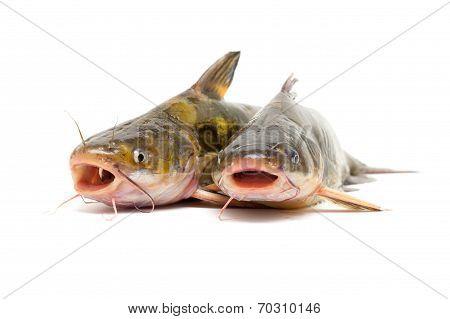 Catfish isolated on white