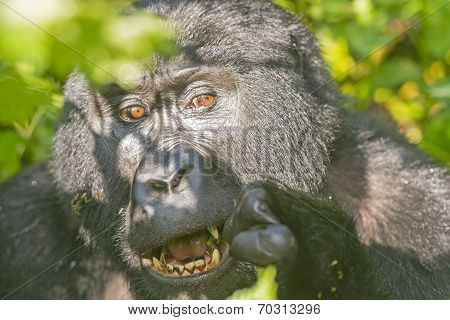 Mountain Gorilla Eating In The Forest