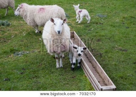 Sheep and young lamb beside a feeding trough. poster
