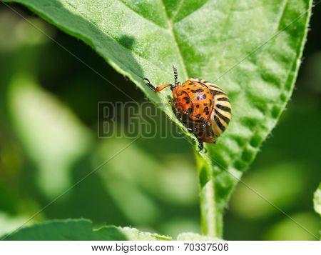 Potato Bug In Potatoes Leaves