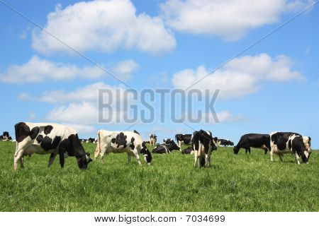 A herd of black and white Holstein Friesian dairy cows grazing in a lush spring pasture against a blue sky poster