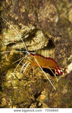Scarlet Skunk Cleaner Shrimp In Aquarium