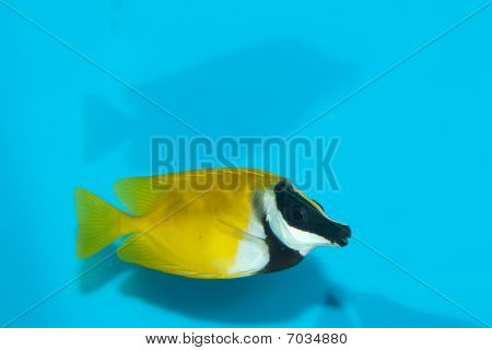Foxface Lo (Siganus vulpinus) in Coral Reef Aquarium poster