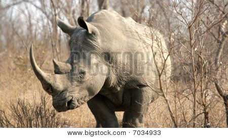 Rhinoceros, Kruger National Park, South Africa