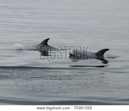 Rizzos dolphin hunting