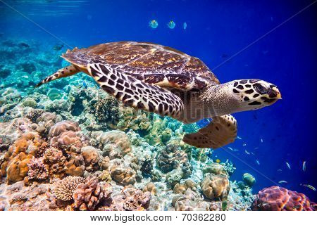Hawksbill Turtle - Eretmochelys imbricata floats under water. Maldives Indian Ocean coral reef. poster