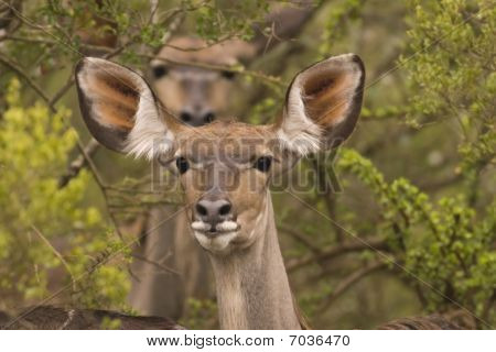 Two kudu in the bush with the rear one out of focus
