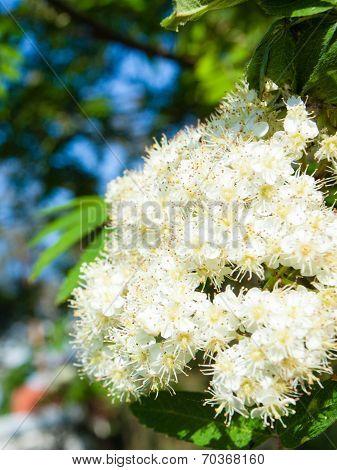 Nature. Bloosoming White Flowers Of Rowan Tree