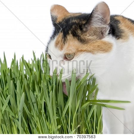 Female cat licking grass, isolated, white background poster