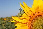 Locust on sunflower - garden and field pests  poster