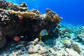 Beautiful colorful coral reef and tropical fish underwater at Maldives poster